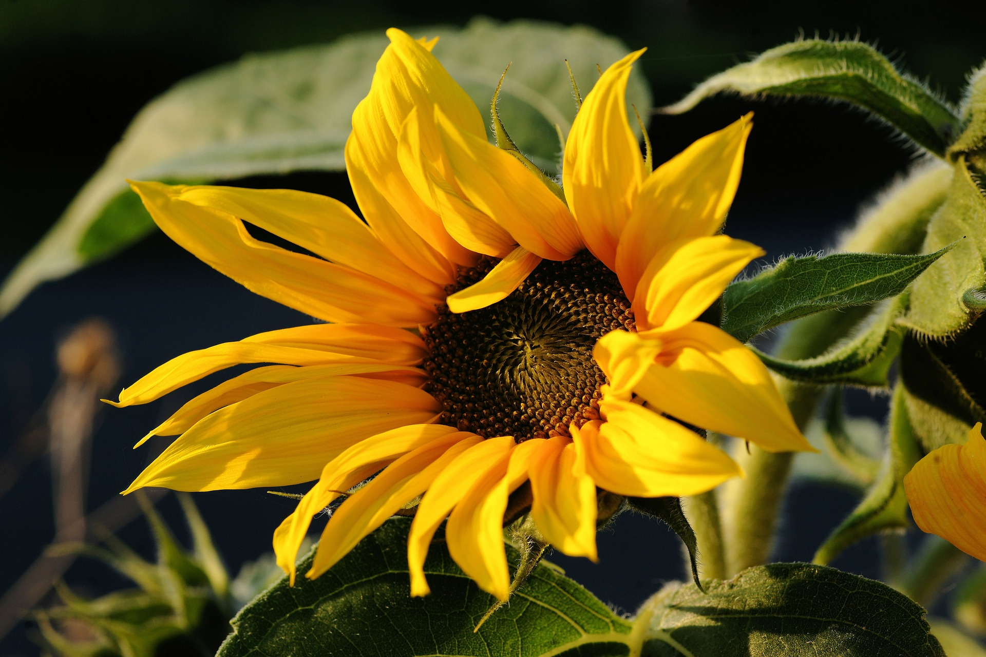 sunflower-454243_1920